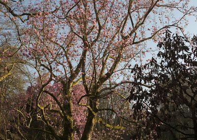 Magnolia Mania at Caerhays Castle © Charles Francis