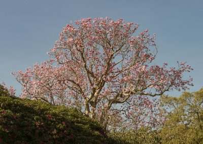 Magnolia Mania at Lost Gardens of Heligan © Charles Francis