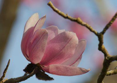 Magnolia Mania at Tregothnan © Charles Francis