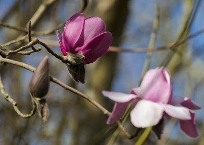 Magnolia Mania at Trewithen © Charles Francis