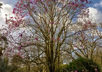 Magnolia Mania at Trewidden © Charles Francis