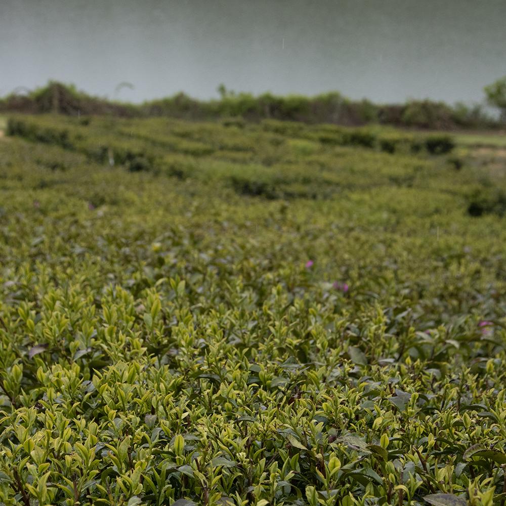 Tea plantations at Halwyn